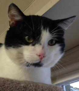 """Young Male Cat - Domestic Short Hair-black and white: """"Burgess"""""""