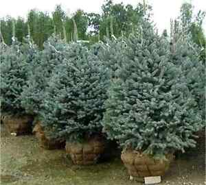 Spruce trees for sale.
