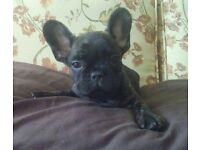 french bulldog male puppies kc reg