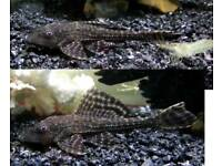 2 small common plecos