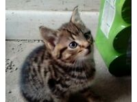 Beautuful bengal tabby kitten