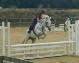 14hh Connemara Pony Club Mare