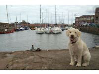 Share ownership of an affectionate Labradoodle. 10-yr-old Rosie seeks part-time family