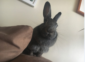 Rehoming my 6 year old bunny! With accessories and drop off!