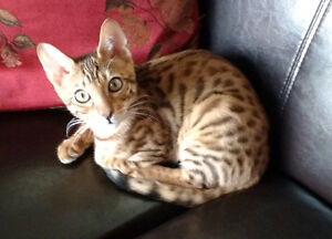 Beautiful Male Bengal Kitten
