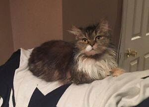 Beautiful long haired Persian available for adoption!