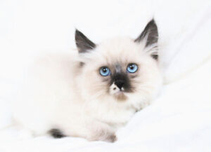 Friendly Ragdoll Kittens for Adoption