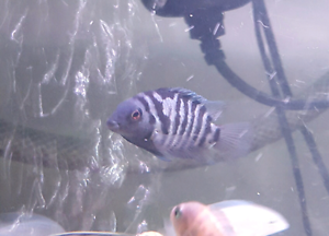 UP FOR SALE ARE MY CONVICT CICHLID YOUNG, VARIOUS COLORS AND SIZE Roxburgh Park Hume Area Preview