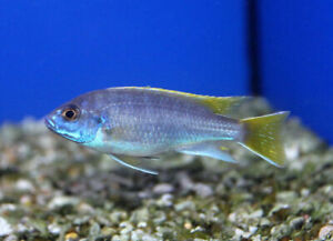 Yellow tail acei African Cichlids