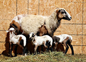 Painted Desert sheep for sale