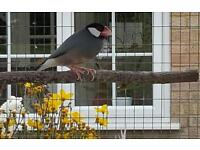 2 Java Sparrows for sale