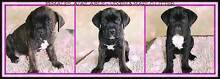 Cane Corso Puppies - International Champion Bloodlines Baldivis Rockingham Area Preview