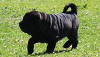 our Shar pei puppies are ready for homes of their own