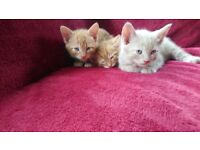 2 Male ginger kittens Ready now!