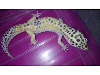 Adult Leopard Geckos