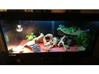 Bearded Dragon - FREE TO A GOOD HOME - including full vivarium setup and cabinet