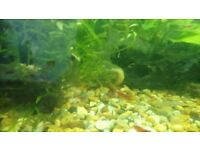 Baby Red / Wood Shrimps for sale