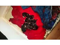 Husky puppies for sale ready to go on the 23 of December