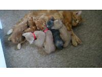Ginger / Cream /Grey kittens