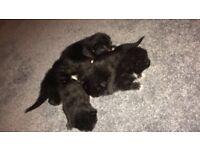 Male Kitten Fully Black - take home end of Feb