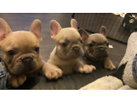 FRENCH BULLDOGS LILAC FAWN BLUE FAWN ISABELLA CARRIERS, CREAM CARRIERS