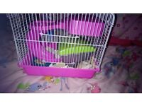 Young male robovoski hamster