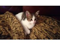 Beautiful Adorable Kitten, Fantastic Personality, Very Intelligent, Already Trained