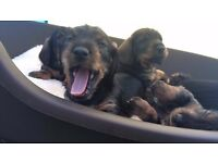 Home Bred Kc Reg Wire Haired Dachshunds For Sale Share Tweet