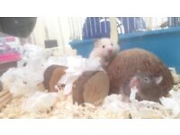 *last one* Long haired baby Syrian hamsters for sale