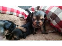 Gorgeous miniature yorkshire terrier puppys yorkie puppies