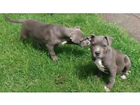 American xl bull puppies available