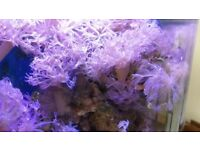Pulsing Xenia - soft coral frags