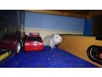 Guinea Pigs for sale -2 Males