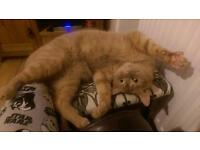 Ginger male cat for rehoming