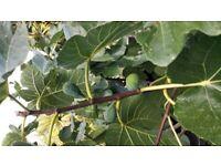 ficus fig fruit tree, garden