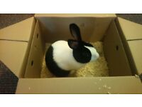 Rabbit for sale 1 1/2 years old