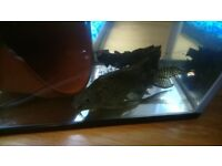 Free 6 inch feather fin catfish