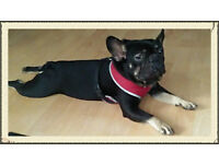 kc reg quailty french bulldog puppies ready now
