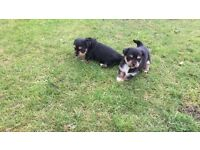 Chihuahua x jack Russell puppy's