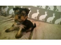 Miniature Yorkshire terrier pups