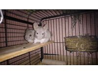 Two male baby chinchillas for sale