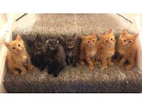 Kitten Maine Coon 3/4, British Shorthair 1/4
