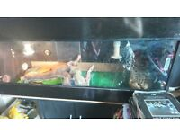 2 bearded dragons for sale comes with full set