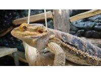 Male bearded dragon - 2 years old
