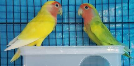 WOW Pair of Pied and Lutino Peach Faced Lovebirds