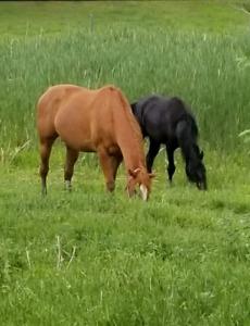 Reg. Thoroughbred mare