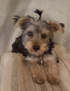 Adorable Yorkie (Yorkshire Terrier) Pups!