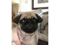 KC Registered PUG Puppies for Sale - Ready Now - 2x Remaining