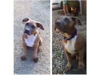 Fawn blue bulldog puppie