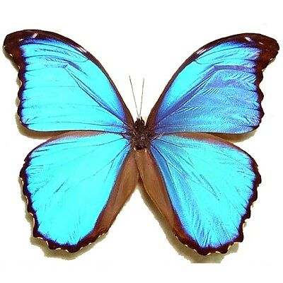 ONE REAL BUTTERFLY BLUE MORPHO MENELAUS PAPERED UNMOUNTED WINGS CLOSED